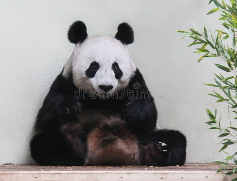 Panda gigante que senta-se olhando a câmera foto de stock