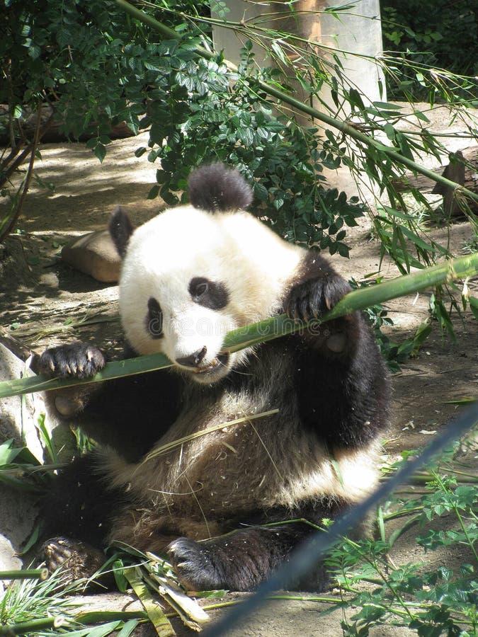 Panda gigante a San Diego Zoo fotografia stock libera da diritti