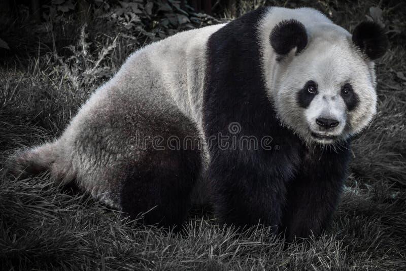Panda grande imagens de stock