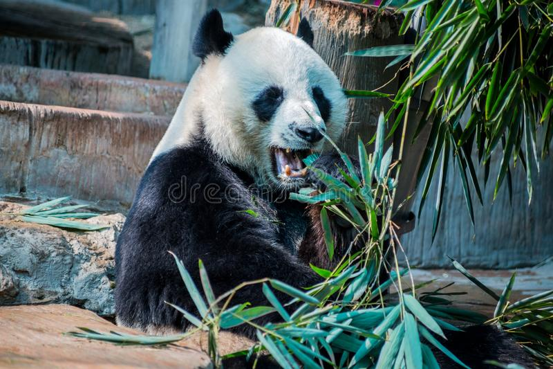 Panda grande que come em Chiang Mai Zoo, Tailândia imagem de stock royalty free