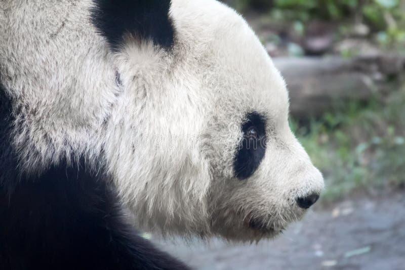 Panda Head imagen de archivo