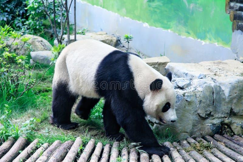 Panda het lopen royalty-vrije stock foto's