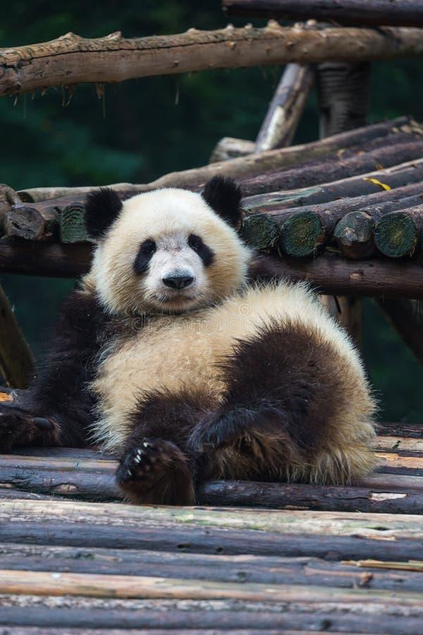 Panda im Ruhezustand lizenzfreie stockbilder