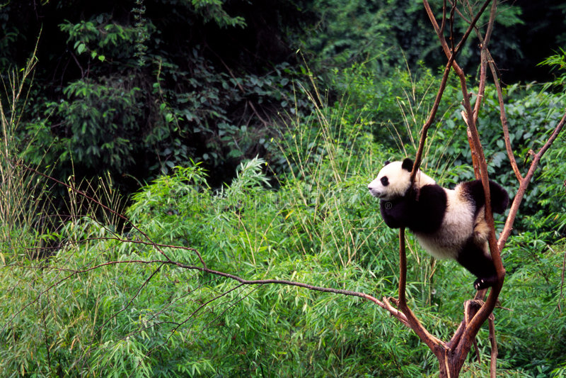 Panda impertinente do bebê foto de stock royalty free