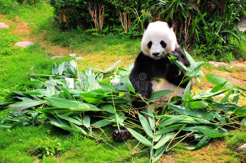 panda mangeant des lames de bambou photos stock