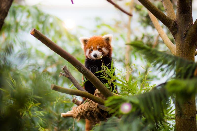 Panda minore fotografie stock libere da diritti