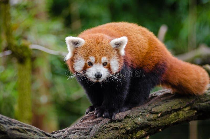Panda Minore Dominio Pubblico Gratuito Cc0 Immagine