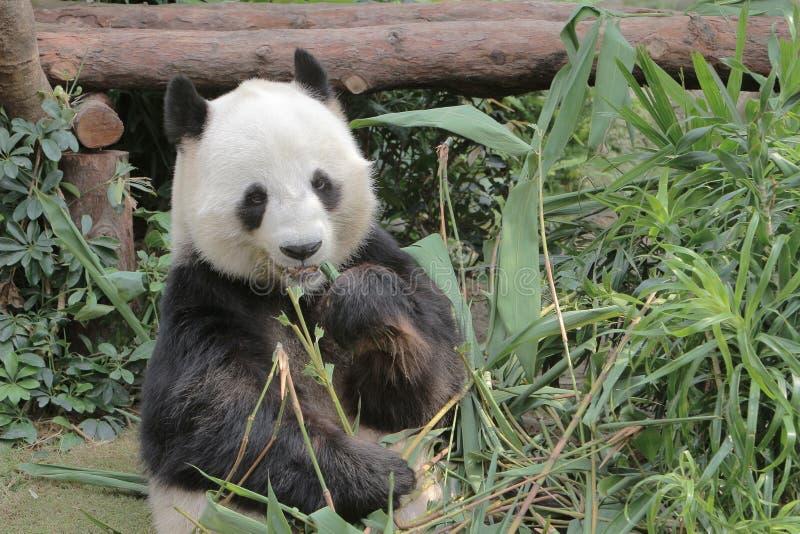 Panda minore adorabile, animale pericoloso, Cina immagini stock