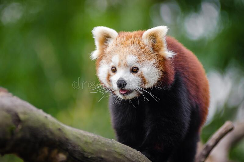 Panda minore al giorno fotografia stock