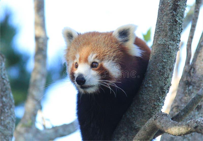 Panda minore attento fotografia stock libera da diritti