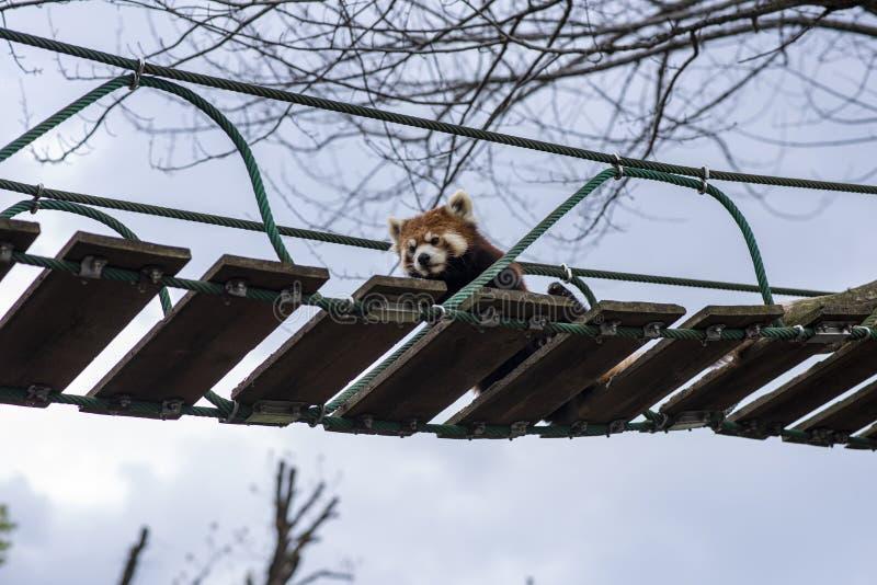 Panda minoreche si rilassa su un ponte sospeso fotografia stock libera da diritti