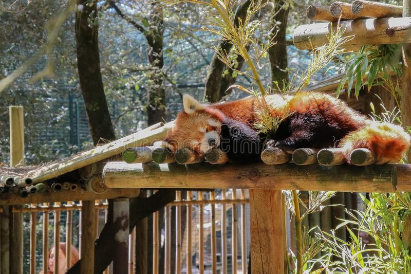 Panda minore di sonno allo zoo immagini stock libere da diritti
