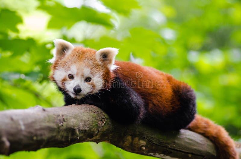 Panda minore sul tronco di albero di Brown immagini stock