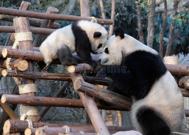 Panda moeder en knuppel bij Chengdu Panda Reserve Chengdu Research Base of Giant Panda Breeding in Sichuan, China royalty-vrije stock foto