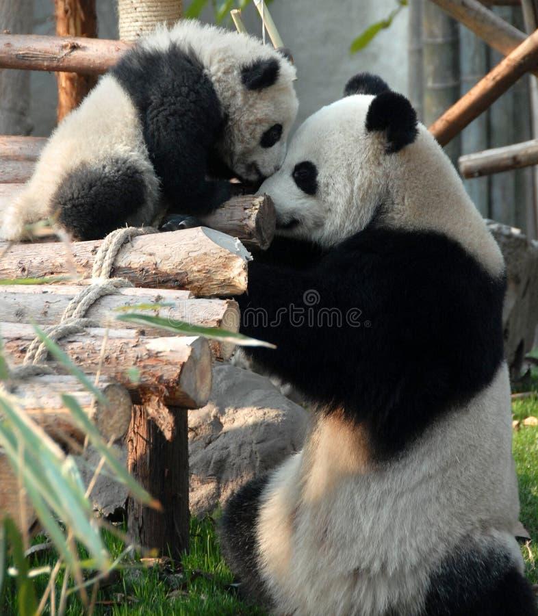 Panda moeder en knuppel bij Chengdu Panda Reserve Chengdu Research Base of Giant Panda Breeding in Sichuan, China royalty-vrije stock fotografie