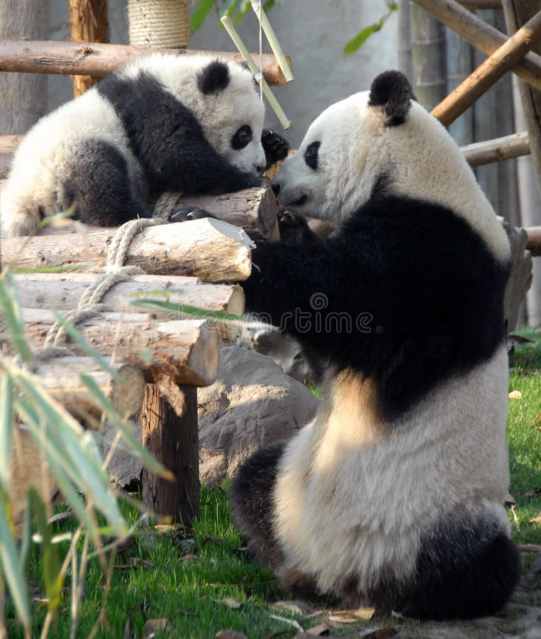 Panda moeder en knuppel bij Chengdu Panda Reserve Chengdu Research Base of Giant Panda Breeding in Sichuan, China stock afbeeldingen