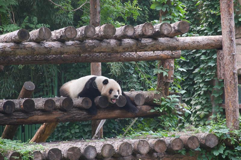 Panda with mouth open, slumped on climbing frame. Black and white panda bear slumped on climbing frame, with mouth open either yawning or smiling / laughing royalty free stock images