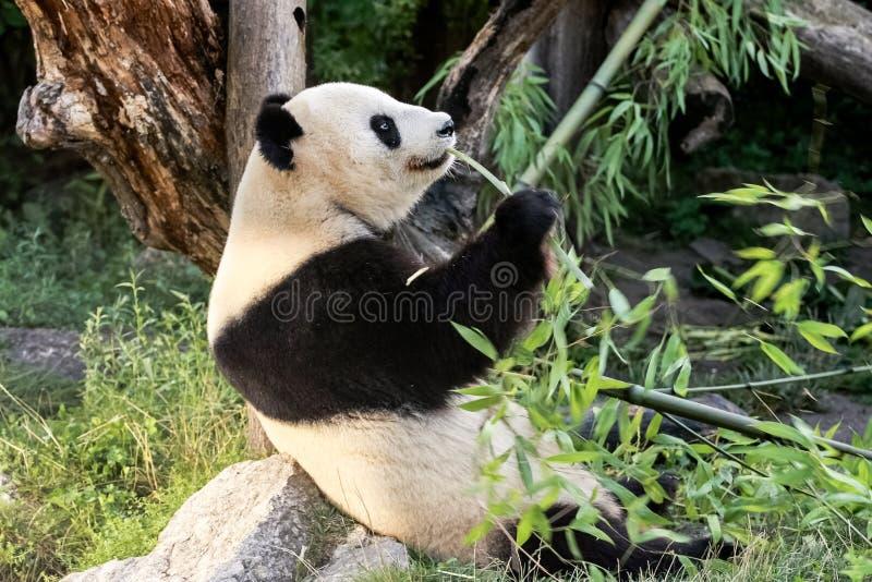 Panda niedźwiedź fotografia stock