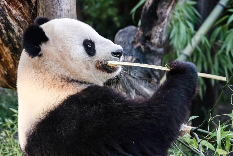 Panda niedźwiedź zdjęcia stock
