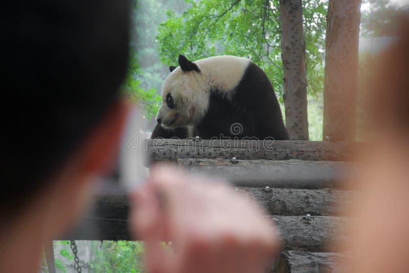 Panda niedźwiedź oglądający obok z ostrość ludzi zdjęcie stock