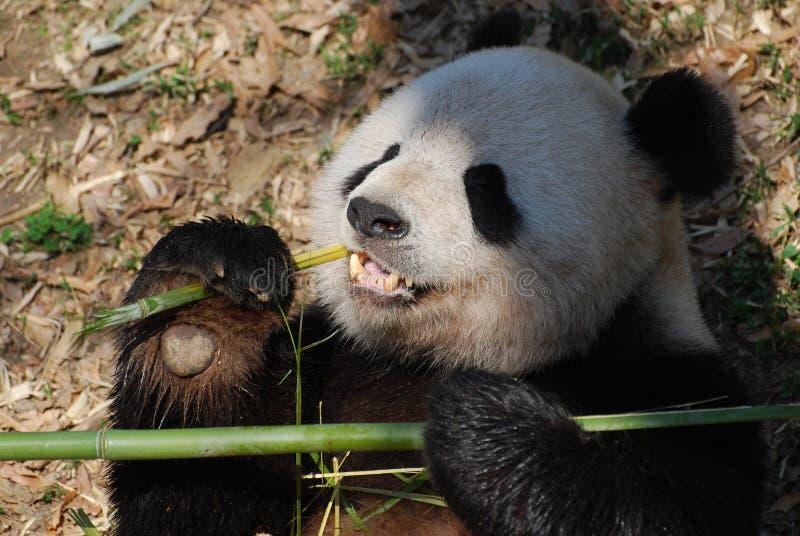 Panda niedźwiedź Trzyma Bambusowym w Jego łapach podczas gdy Jedzący obraz royalty free