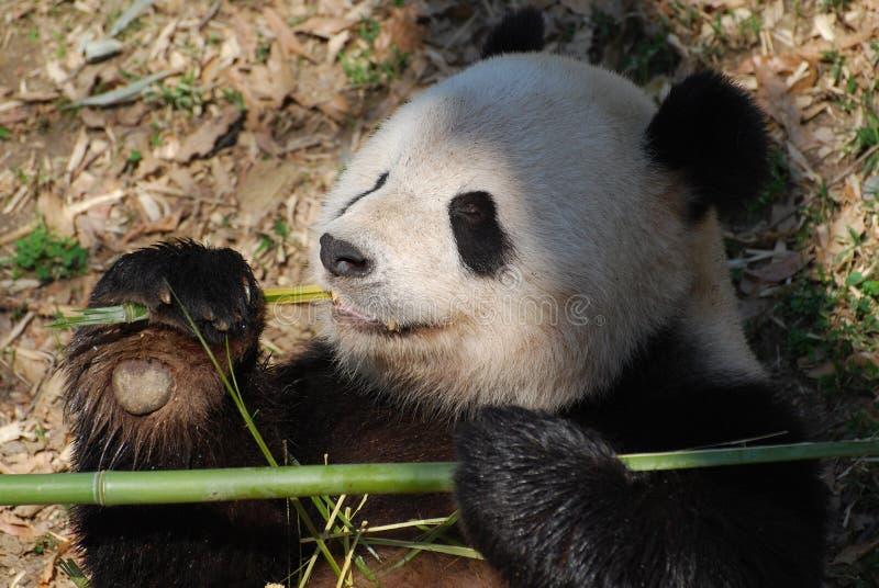 Panda niedźwiedź Trzyma mocno bambusa w Jego łapie obrazy stock