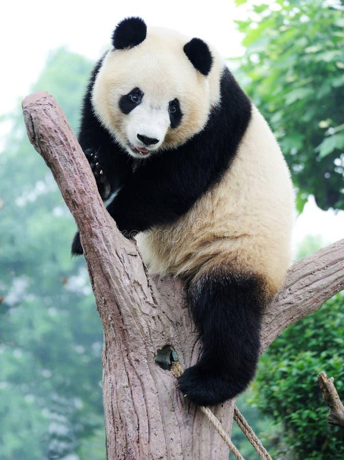 Panda op de boom stock foto