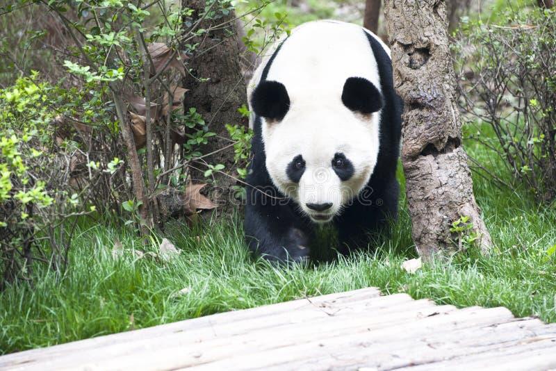 Panda (panda gigante) fotos de stock