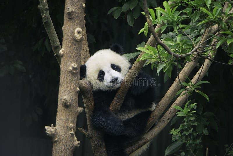Panda pigro immagini stock