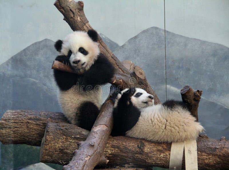 Panda Play. Panda twins at play at the Atlanta Zoo, Atlanta stock images