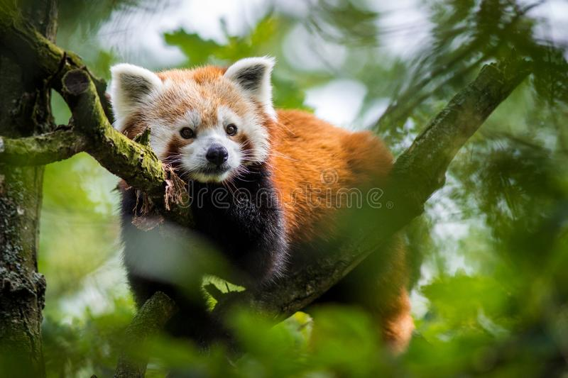Panda red portrait. In the nature park stock images
