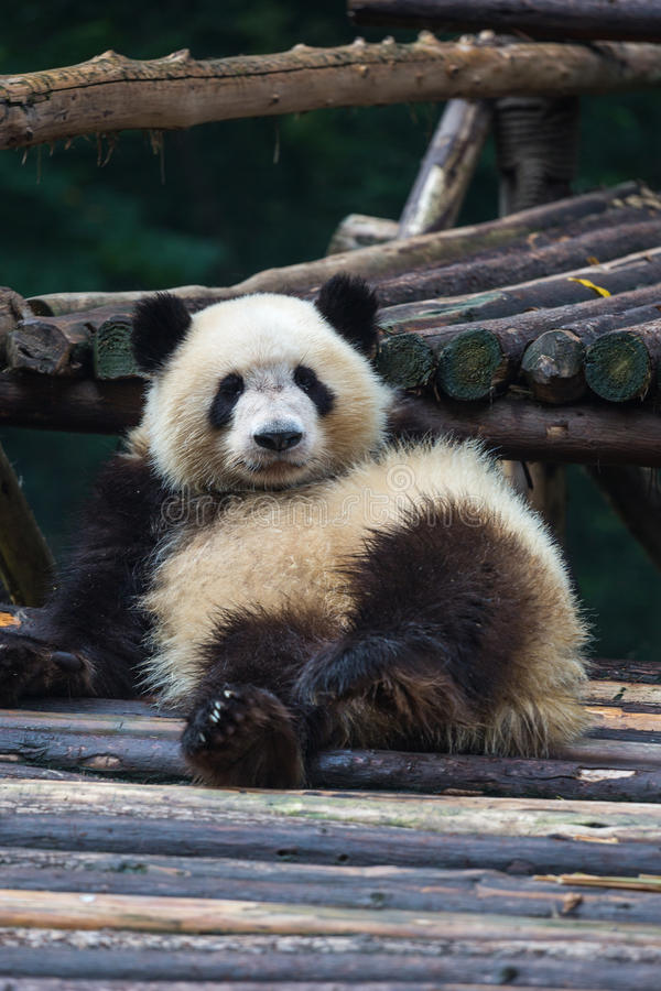 Panda at rest royalty free stock images