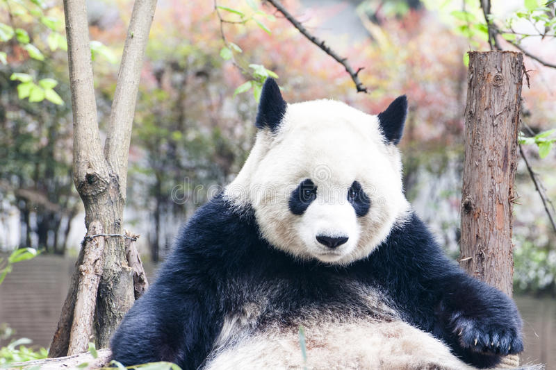 Panda (ReuzePanda) royalty-vrije stock foto