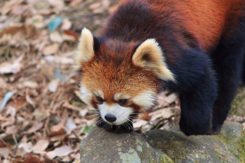 Panda roja fotografía de archivo