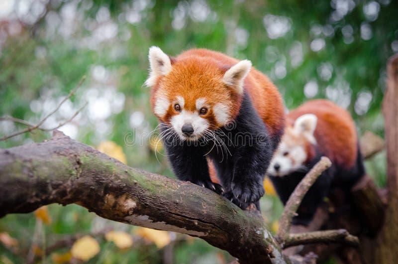 Panda Roja Dominio Público Y Gratuito Cc0 Imagen