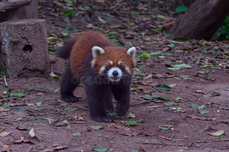 Panda roja Chengdu animal en China fotos de archivo libres de regalías