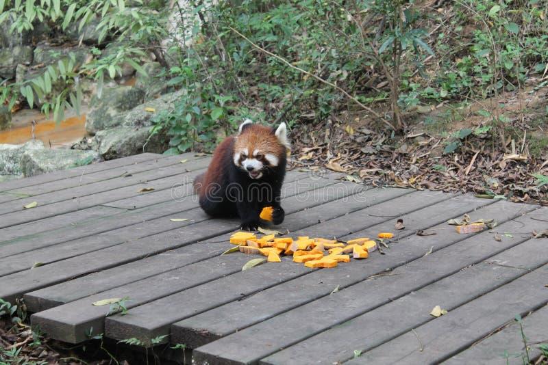 Panda roja, Chengdu China fotos de archivo libres de regalías