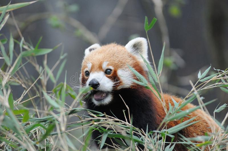 Panda roja en Darjeeling, la India fotografía de archivo libre de regalías
