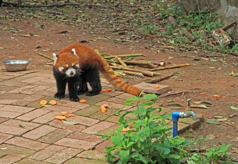 Panda roja en el parque de Chengdu imagenes de archivo