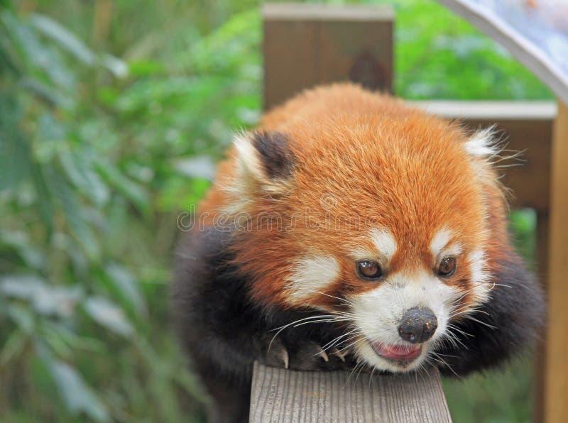 Panda roja en el parque de Chengdu imagen de archivo