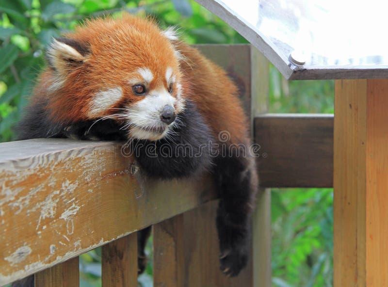 Panda roja en el parque de Chengdu foto de archivo libre de regalías