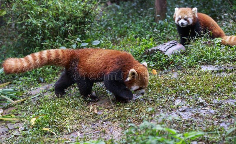 Panda roja en el parque zoológico en Chengdu, China imagenes de archivo