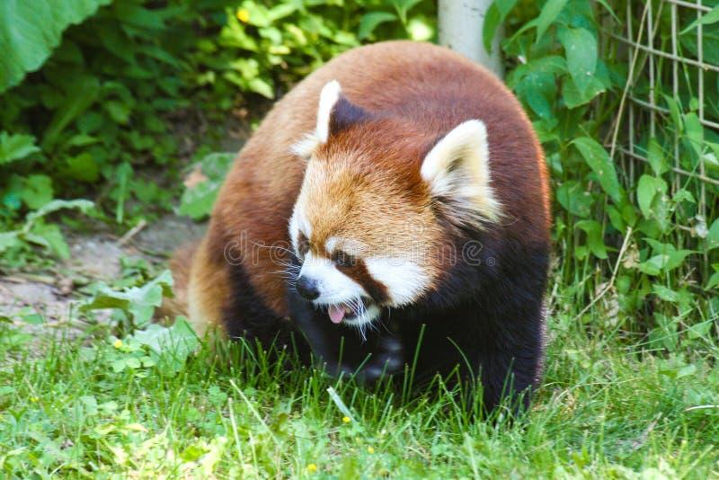 Panda roja en el parque zoológico Ontario Canadá de Toronto imágenes de archivo libres de regalías
