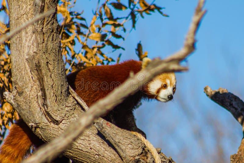 Panda roja en ?rbol fotos de archivo