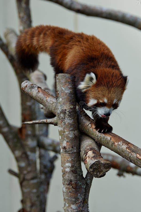Panda roja en un árbol fotografía de archivo