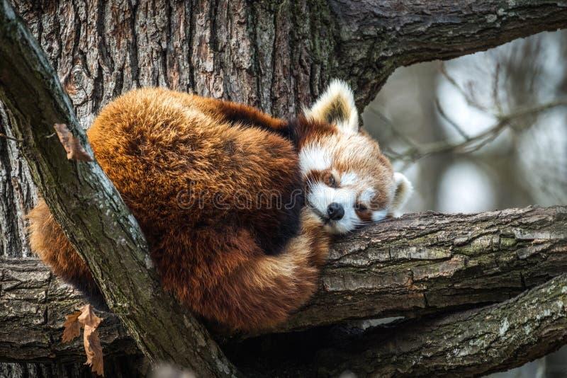 Panda roja, Firefox o Lesser Panda imágenes de archivo libres de regalías
