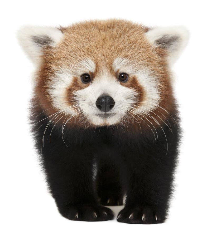 Panda roja joven o gato brillante, fulgens del Ailurus imagenes de archivo