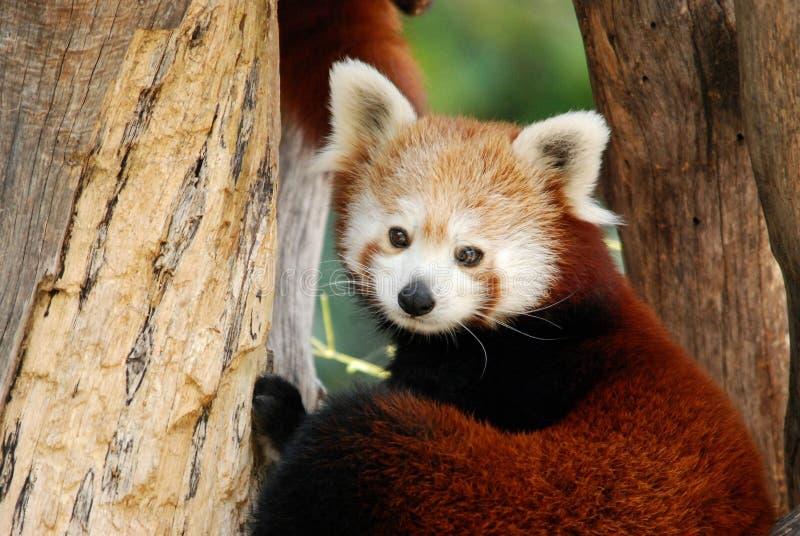 Panda roja masculina fotos de archivo