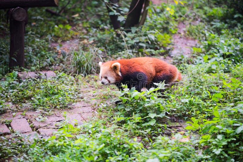 Panda roja que camina en el bosque imágenes de archivo libres de regalías