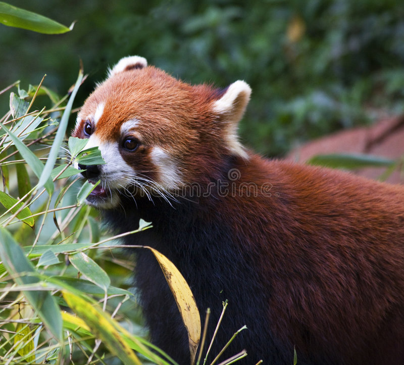 Panda roja que come China de bambú fotografía de archivo